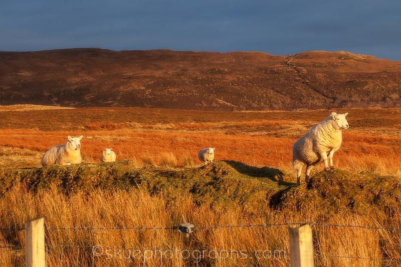 Sheep near Portree