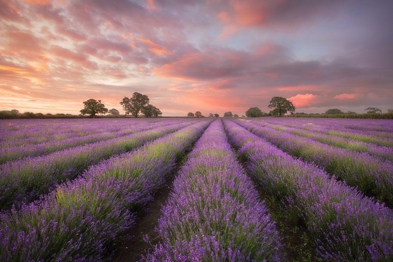Dawn over a Lavender Field
