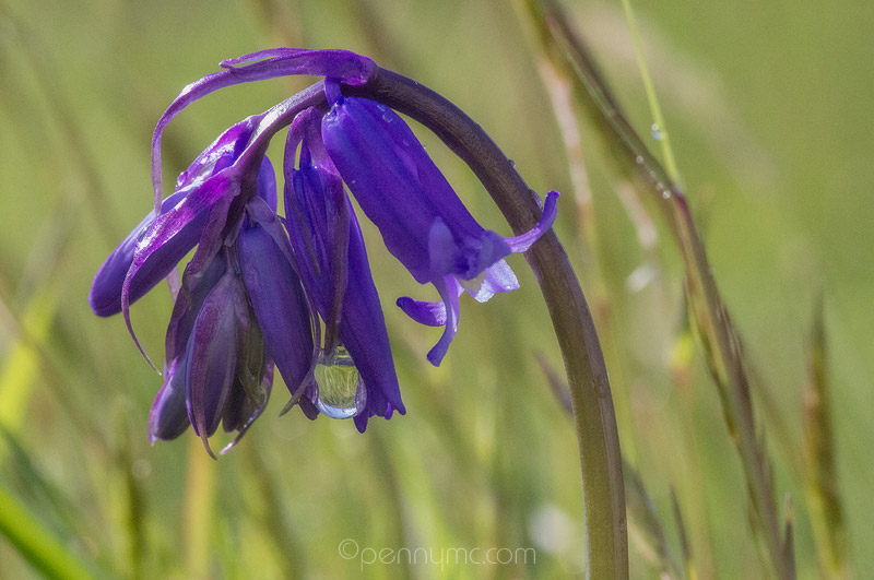Bluebell with dew drops