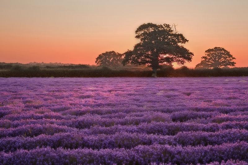 Lavender Dawn Glow