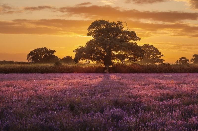 Lavender Sunrise behind a tree