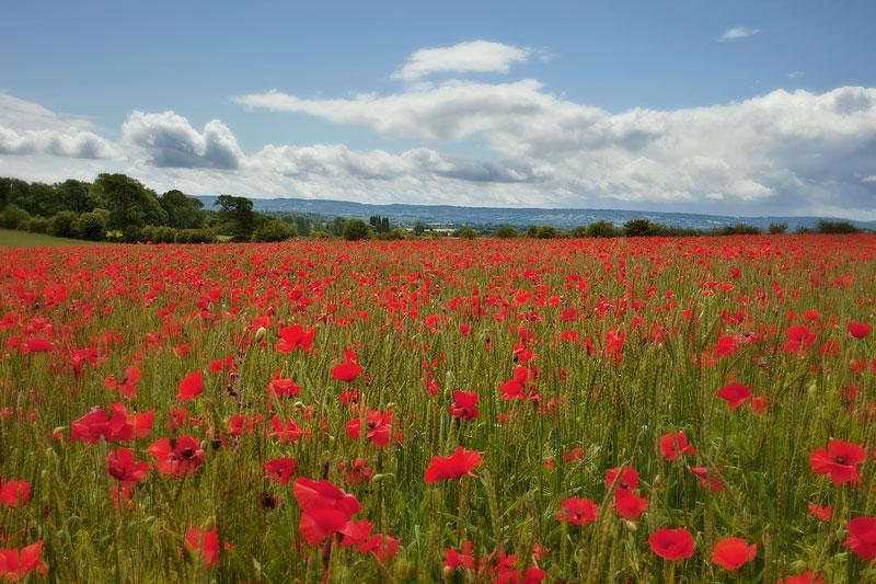 Quantock Poppy Field