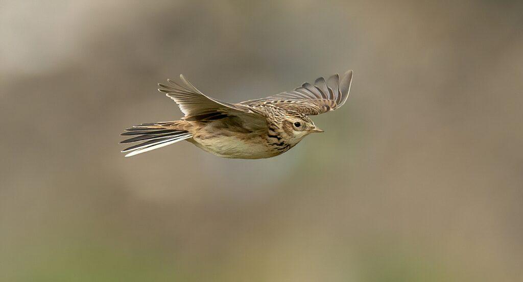 Skylark in flight Bob Brewer
