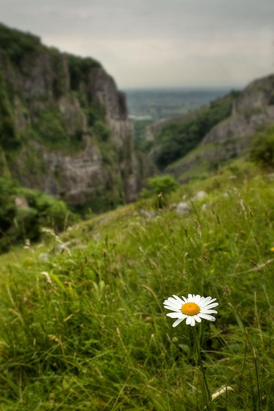 Cheddar Gorge Daisy