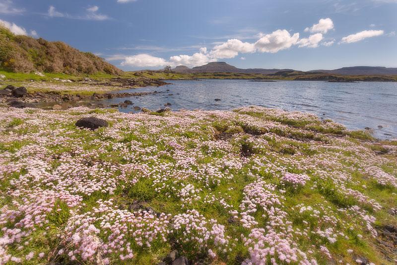 North Skye Dunvegan Sea Pinks