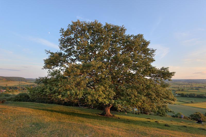 Collard Hill Oak Tree