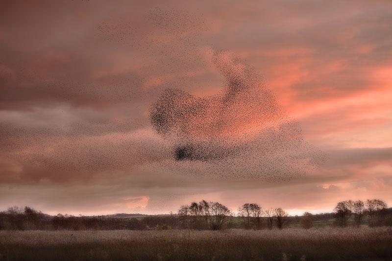 Somerset Starling Murmeration