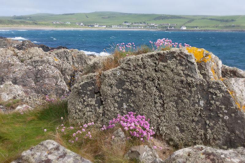 Sea Pinks near Port Logan