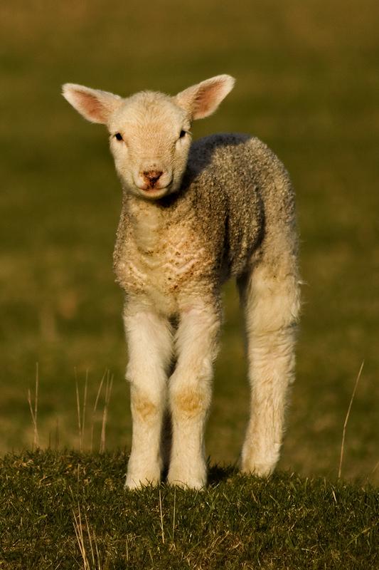 Somerset Lamb